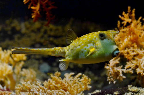 Puffer Fish Underwater Reef Sea Tropical Marine - Free Photo 1