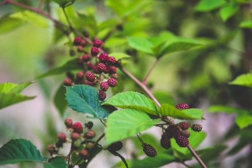 Fruit Berry Shrub Currant Elderberry Plant Leaf Ripe Drupe Berries - Free Photo 1