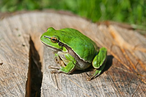 Frog Amphibian Eye Animal Eyed Wildlife - Free Photo 1