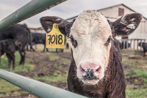Simpleton Farm Animal Mammal Livestock Sheep #1