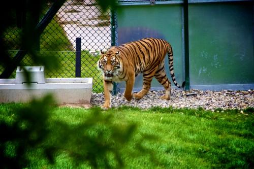 Cat Feline Tiger Wildlife Wild #1