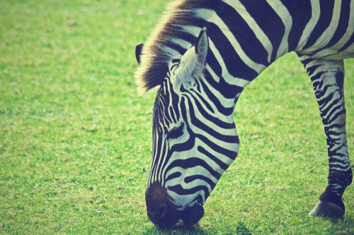 Zebra Equine Ungulate Safari Wildlife #1