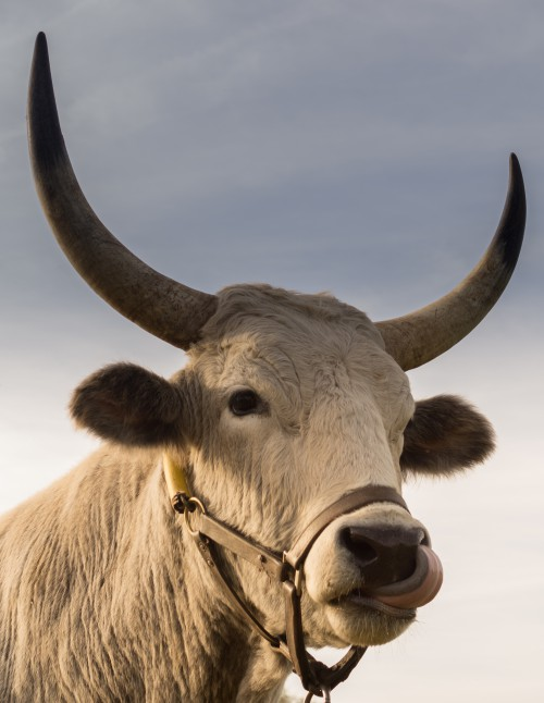 Cattle Ox Bovine Bull Ruminant Cow - Free Photo 1