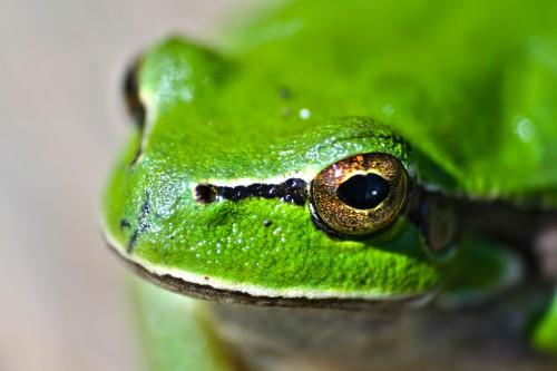 Frog Amphibian Eye Eyed Animal Wildlife Leaf Look Tree frog Eyed tree frog - Free Photo 1