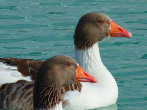 Bird Goose Waterfowl Duck Drake Water Beak Wildlife - Free Photo 1