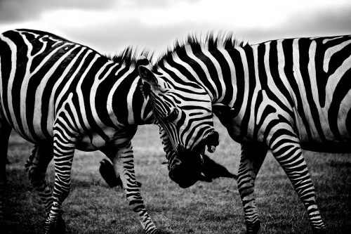 Equine Zebra Ungulate Safari Wildlife Mammal - Free Photo 1