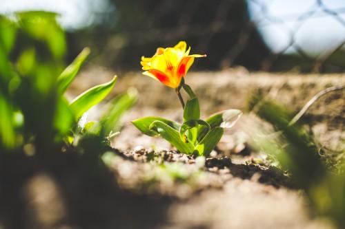 Herb Plant Pimpernel Flower Garden #1