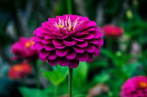 Geranium Herb Petal Plant Flower Pink Flowers #1