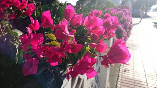 Flower Shrub Petunia Plant Flowers Angiosperm Pink Blossom