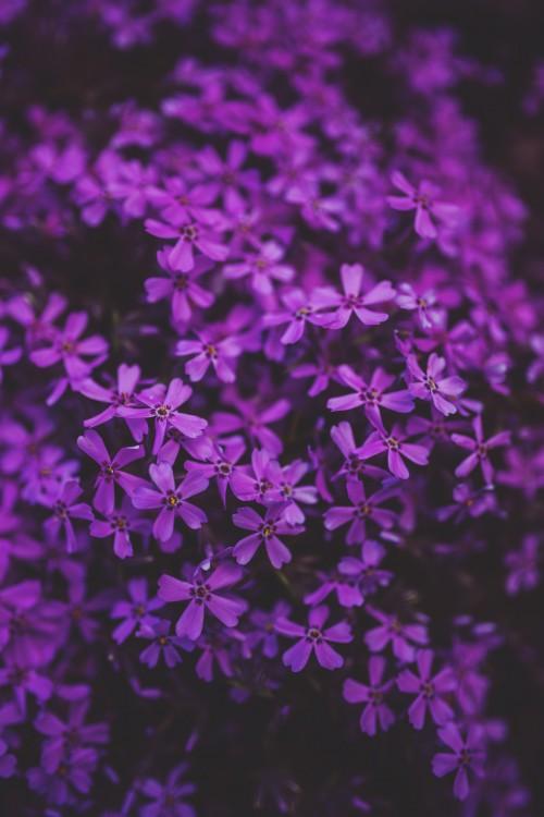 Lilac Herb Phlox Plant Flower - Free Photo 1