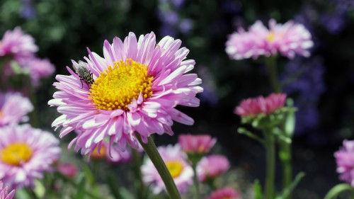 Daisy Flower Aster Petal Plant Blossom Garden Angiosperm Pink