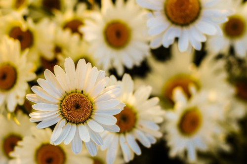 Daisy Flower Herb Plant Blossom Petal Spring