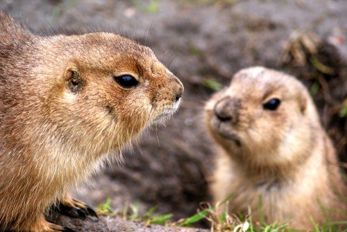 Animal Rodent Mammal Critter Marmot Wildlife Fur Organism Wild Cute #1