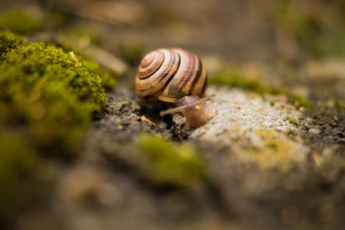 Snail Mollusk Gastropod Invertebrate Animal Slow Shell Slime Garden - Free Photo 1