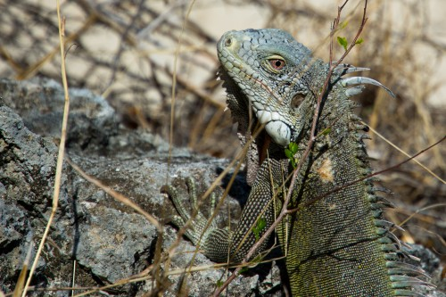 Lizard Reptile Wildlife Dragon Iguana - Free Photo 1