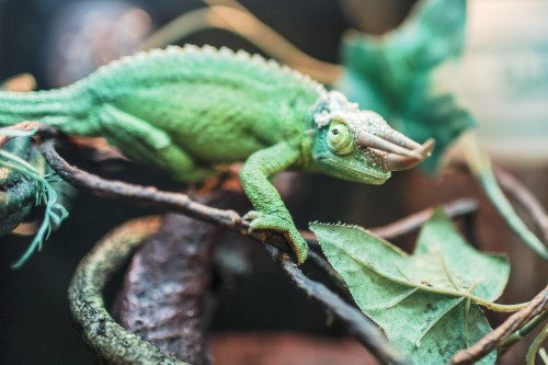 Chameleon Lizard Reptile Person Wildlife - Free Photo 1