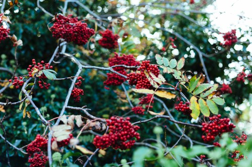 Shrub Fruit Plant Berry Currant Tree Berries - Free Photo 1