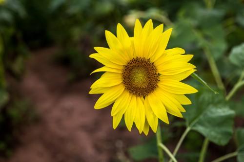 Sunflower Flower Field Yellow Agriculture Summer Plant Petal Sun #1