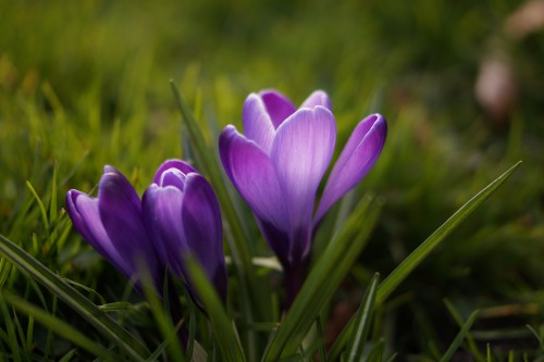 Crocus Flower Plant Spring Blossom Bloom Floral Petal Tulips - Free Photo 1