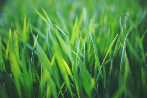 Rice Grain Field Grass Wheat Starches Plant Spring Summer #1