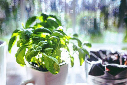 Basil Herb Plant Leaf Fresh - Free Photo 1