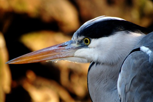 Heron Bird Wildlife Beak Pelican Feathers - Free Photo 1