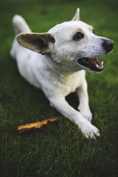Dog Canine Retriever Pet Puppy Cute Friend Breed #1