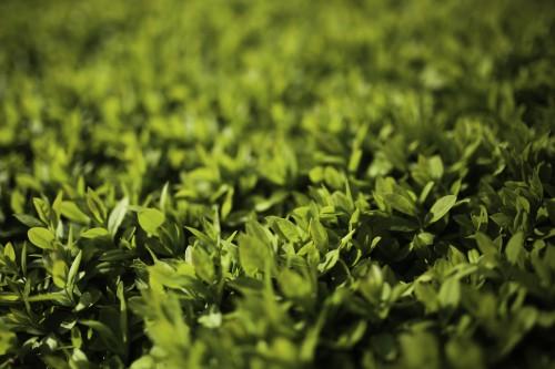 Parsley Plant Herb Garden Leaf Spring Grass Fresh - Free Photo 1