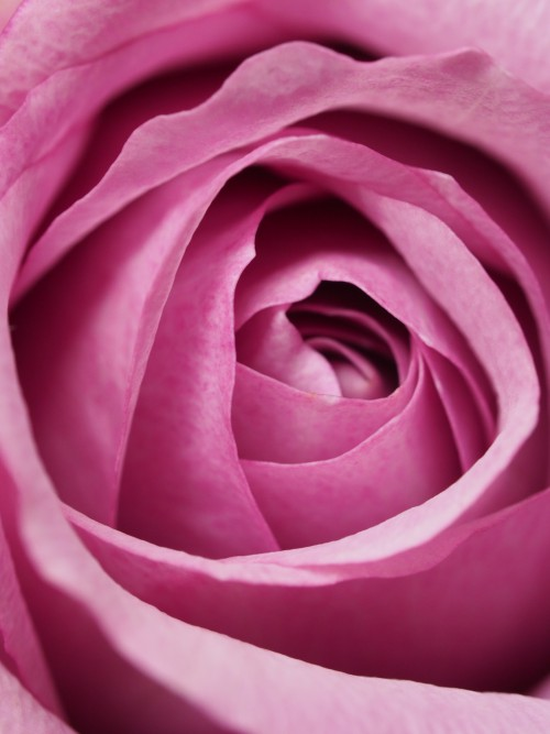 Rose Petal Satin Flower Pink Plant Valentine Love Shrub #1