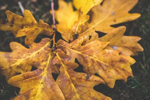 Maple Autumn Leaves Fall Tree #1