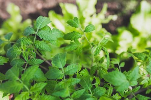Herb Plant Leaf Thyme Garden Leaves Spring Fresh - Free Photo 1