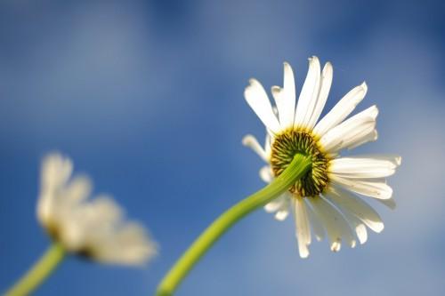 Flower Daisy Herb Plant Blossom Spring Petal Garden Bloom - Free Photo 1