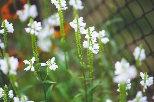 Herb Plant Spirea Flower Spring