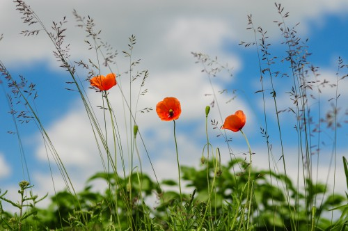 Poppy Flower Field Summer Spring Meadow Hip - Free Photo 1