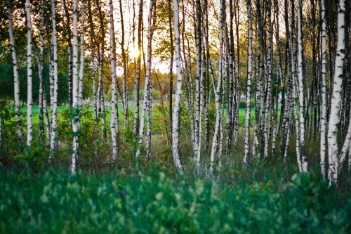 Tree Birch Poplar Forest Landscape Trees Switch Park