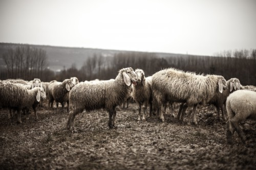 Simpleton Sheep Farm Field Grass Agriculture Rural Farming Lamb Landscape - Free Photo 1