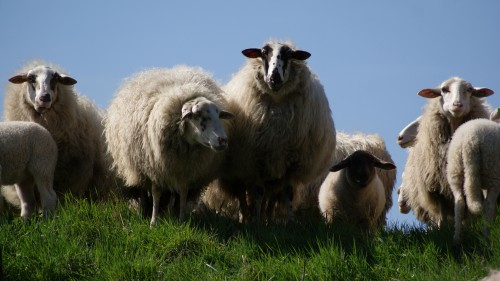 Simpleton Sheep Farm Grass Farming Field Lamb Mammal Animal - Free Photo 1