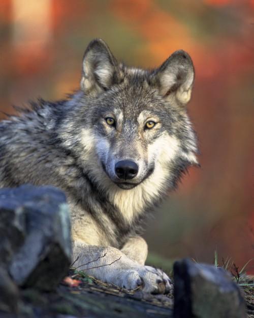 Canine Wolf Mammal Fur Wildlife Wild Dog Predator #1