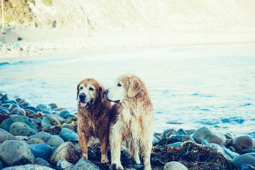 Dog Retriever Canine Pet Terrier Cute Puppy Golden Pooch Breed - Free Photo 1